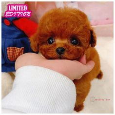 Realistic Teddy Dog Lucky Cute Baby Dogs, Cute Baby Animals, Cute Puppies, Dogs And Puppies, Cute Babies, Toy Puppies, Doggies, Yorkie Dogs, Pet Puppy