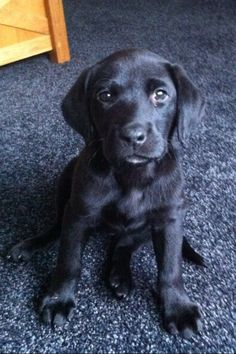 Labrador Puppy. Looks just like the puppy we're fostering, but vet thinks he will be small to medium size, so must be a lab mix