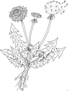 Kraeuter Loewenzahn - Flowers - Lilly is Love Kindergarten Architecture, Crassula Ovata, Survival Blanket, Botanical Flowers, Pin Collection, Zentangle, Coloring Pages, Crafts For Kids, Paper Crafts