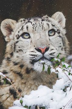 young snow leopard by elke.os https://500px.com/photo/93567319/young-snow-leopard-by-elke-os-