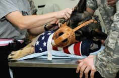 Carly M745, a security forces dog with the 332nd Expeditionary Security Forces Group, is sedated to have blood drawn July 3, 2010, during a canine blood drive at Joint Base Balad (JBB), Iraq. Military working dogs at JBB have their blood tested and typed to ensure they are ideal donors. (U.S. Air Force/Tech. Sgt. Caycee Cook)