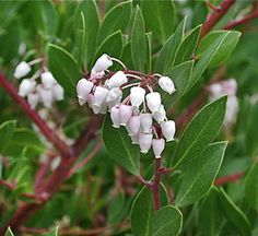 Extremely handsome big evergreen shrub with classic mahogany bark peeling to reveal that much loved Hi-Gloss finish. Pink urn-shaped flowers in spring age white followed by russet berries liked by birds. Leaves are held perpendicular to the sun to conserve water. Good drainage no fertilizer.