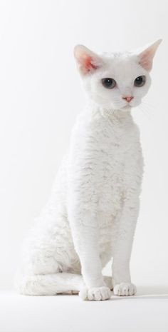 #white devon rex #cat  awwwhhh