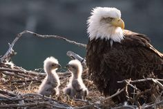 Eagle Pictures, Animal Pictures, Baby Bald Eagle, Baby Animals, Cute Animals, Animal Babies, Eagle Nest, Native American Photos, Big Bird