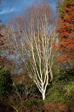 Find help & information on Betula utilis var. jacquemontii West Himalayan birch from the RHS Trees And Shrubs, Trees To Plant, Garden Trees, Garden Plants, Betula Pendula, Japanese Beetles, House Landscape, Winter Garden, Himalayan