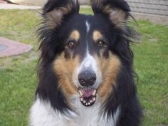 collie dogs on pinterest | Collie Dog