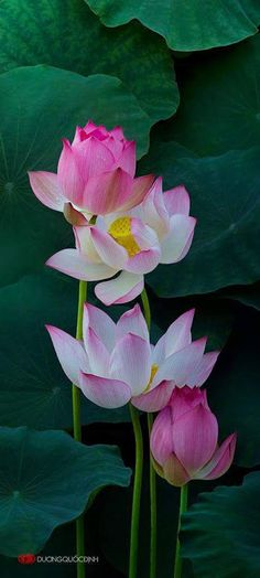 Pink Lotus in Pond Beautiful............