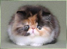 gato persa - Buscar con Google