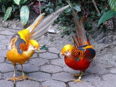 The Golden and the red pheasant Tropical Birds, Exotic Birds, Colorful Birds, Golden Pheasant, Guinea Fowl, Game Birds, Rare Animals, Animal 2, Budgies