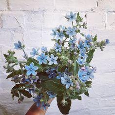 瑠璃唐綿(ルリトウワタ)、天藍尖瓣藤、天藍尖瓣木、藍星花Blue Star(單瓣)、彩冠花 Oh Tweedia even if you stink we love you #tweedia #littlewrenflowers #newcastleflorist