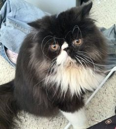 My 2 year old purebred Persian cat Munster