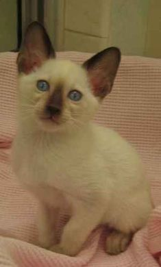 Siamese Kitten Siamese Kittens, Cats And Kittens, Pretty Cats, Beautiful Cats, Crazy Cat Lady, Crazy Cats, Tonkinese Cat, Oriental Cat, Cat With Blue Eyes