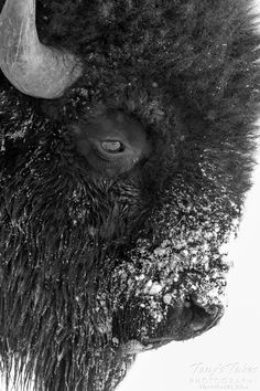 Black and white bison. This big guy was out for a walk in the snow yesterday at the Rocky Mountain Arsenal National Wildlife Refuge in Colorado. Buffalo S, Buffalo Animal, Bison Pictures, Animal Pictures, Buffalo Pictures, Art Pictures, Amazing Animals, Animals Beautiful, Wildlife Photography