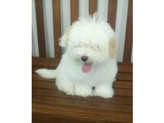 coton puppy - I want this dog ~blc~