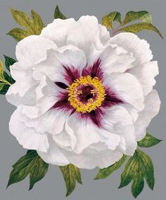 White Peony, a Natural History Museum greeting card
