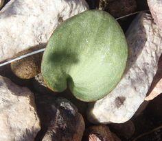 Eriospermum cordiforme