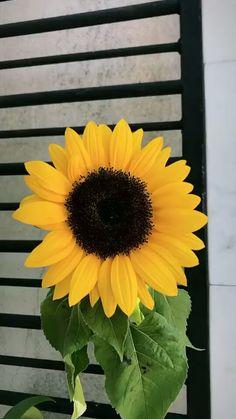 Sunflower Wallpaper for iPhone - SalmaPic Tumblr Wallpaper, Iphone Wallpaper Tumblr Aesthetic, Wallpaper S, Aesthetic Wallpapers, Wallpaper Backgrounds, Phone Backgrounds, Wallpaper Quotes, Sunflower Wallpaper, Sunflower Art