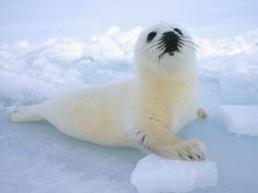 "Harp Seal - (aka Canadian Seal) - Sadly one species that faces brutal murder on the annual ""Seal Hunt."" Literally beaten to death with clubs and condoned by the Canadian Government. Namibia, the Danish region of Greenland, Iceland, Norway and Russia also permit this inhumane act. ENDANGERED AND CRUELY TREATED – STOP THE MURDER OF THESE HELPLESS, BEAUTIFUL ANIMALS – THEY ARE ""ALL GOD'S CREATURES."""