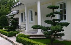 Cloud pruning by a traditional entrance for a modern eclectic look. Topiary Plants, Topiary Garden, Bonsai Garden, Modern Landscaping, Front Yard Landscaping, Cloud Pruning, Landscape Design, Garden Design, Japanese Garden Plants