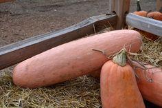 Squash Seeds - PINK BANANA - Huge Jumbo - Conventional & Organic - 10 Seeds #theseedhouse Planting Pumpkins, Planting Flowers, Squash Seeds, Lenten Rose, Pink Banana, Orange Bird, Fruit Seeds, Fruit Garden, Little Plants