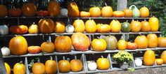Pumpkins by cedarlili.deviantart.com on @deviantART
