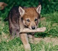 Gray Wolf Pup--Wolves of the Rockies Top 10 Cutest Animals, Cute Baby Animals, Animal Babies, Beautiful Wolves, Animals Beautiful, Beautiful Soul, Wolf World, Wolf Pup, Wolf Love