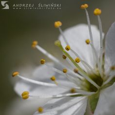 fragile. White flower. Signs of spring.  #macrophotography