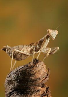 mantis  (is this a pregnant mantis? :o)