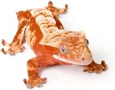 Google Image Result for http://www.acreptiles.com/main/images/stories/M_images/Geckos_Crested/GraphicImages/MeetCrestedGecko.jpg