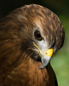 Red Shouldered Hawk (Eric Hochstadt)