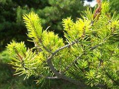 Fertilizer for Evergreen Trees