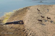 A dramatic interaction between wild dogs and a crocodile