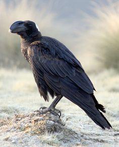 El cuervo picogordo (Corvus crassirostris) es una especie de ave paseriforme de la familia Corvidae que vive en el este de África. Comparte el puesto de mayor córvido con algunas razas de cuervo común (Corvus corax), y con ello el de paseriforme más pesado del mundo.