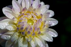Dahlia Plants, Dahlia Flowers, Rain Drops, Beautiful Flowers, Plant, Planets