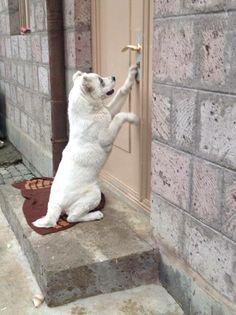 Armenian Gampr dog or Armenian Wolfhound #armenia