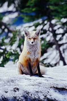 Red Fox on Snow Bank, Mt Rainier National Park, Washington by Adam Jones / Danita Delimont Art Print
