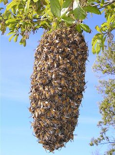 What is a Swarm of Bees and What Should I Do About It? | Root Simple