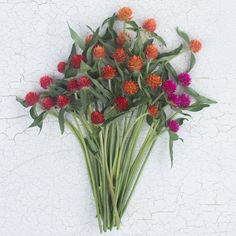"""Gomphrena haageana  This late summer darling is hard working in both the garden and in the vase. The more you cut it, the more it blooms. Adorable button like blooms resemble vibrant colored clovers and look great in bouquets. They thrive in the heat and are good both fresh and dried. This mix of orange, carmine and cherry add a bright pop of color to any summer arrangement and are especially striking when combined with dahlias.  Plant type: annual Height: 24-30"""" Site: full sun Days to…"""