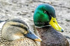 A male and female mallard on the lake in Colwick Park located just outside of Nottingham city centre.  The stunning male colours are a vast opposite of the female mallard.