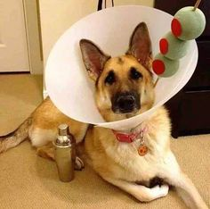 "Next year's Halloween costume for one of the dogs for sure! ""Satellite dish"", aka cone (from vet office), 3 foam balls in dog or cat appropriate size (any craft store), bamboo skewer or thin dowel (again, pet size must be taken in to account, green paint and red felt. But good luck getting your pet to carry a shaker around with them. ;)"