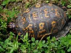 A beautiful symbol of persistence, patience, and grounding. Eastern Box Turtle, Turtle Care, Beautiful Symbols, Amazing Nature, Turtles, Patience, Club, Tortoises, Turtle