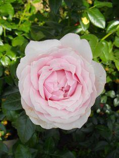 Rosier à grandes fleurs Gilles de Brisac® Dorella. Gilles, Flowers, Plants, Spring, Backgrounds, Beautiful Roses, Big Flowers, Rose Bush, Plant
