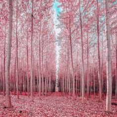 Pink Forest🌳💖Oregon💖🌳 ○ Photo by 🌻 🌻 ○○ . Wonderful Places, Beautiful Places, Beautiful Pictures, Beautiful Forest, Pink Forest, Good Vibe, Parcs, Elle Decor, Beautiful Landscapes