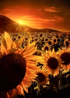 Tumblring through this waist land..... — coiour-my-world: sunflower sunset