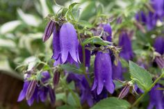Campanula 'Sarastro' Rustic Gardens, Cottage, Earth, Landscape, Flowers, Plants, Scenery, Florals, Cottages