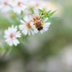 Honey Bee Fine Art Print, Summer Garden Photography #creativephotography