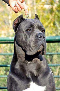 Pitbull Bullmastiff Mix Pit Bull Mastiff Mix Dogs