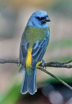 The Blue-and-yellow Tanager (Pipraeidea bonariensis) is a species of bird in the Thraupidae family, the tanagers. It is found in Argentina, Uruguay, Brazil, Paraguay, Bolivia, extreme northern border Chile, and Andean Peru and Ecuador.