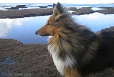 How To Photograph Your Dog | Sheltie Planet Pet Photography Tips, Animal Photography, Small Dog Breeds, Small Dogs, Camera Angle, Pet Photographer, Body Shots, Shetland Sheepdog, Natural Scenery