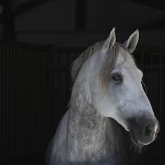 PRE stallion. ...Know how to melt a girls heart by Mette Fagerli, via 500px